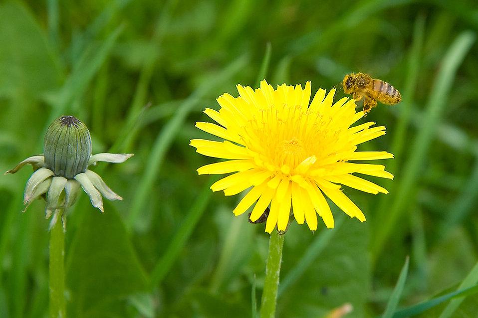 花の蜜を求めるミツバチたち